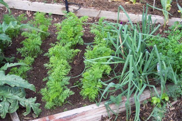Когда сажать морковь в открытый грунт?