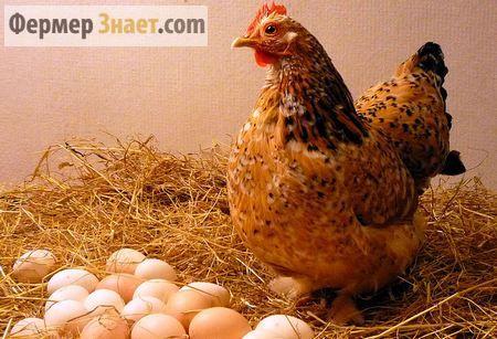 Когда ждать яиц от домашних кур