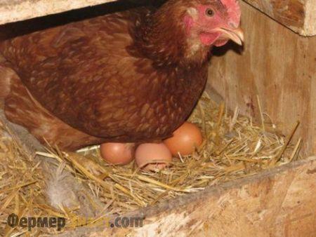 Sliepky položil vajcia