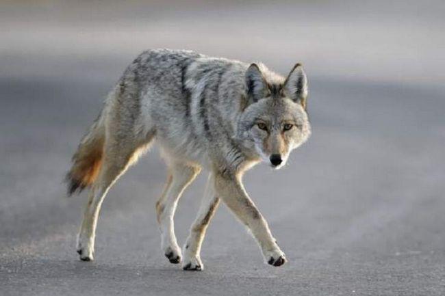 Koyvolk vypadá spíš jako kojot, ale velikost je mnohem větší, než jeho předchůdce.