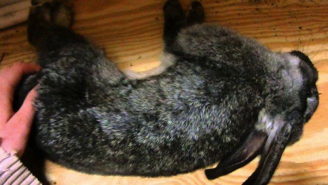 Кокцидиоз у кроликов - 2