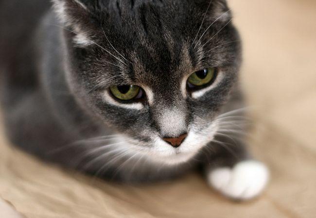 Колит у кошек: симптомы и лечение