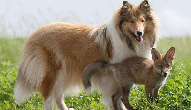 Collie usvojen fox