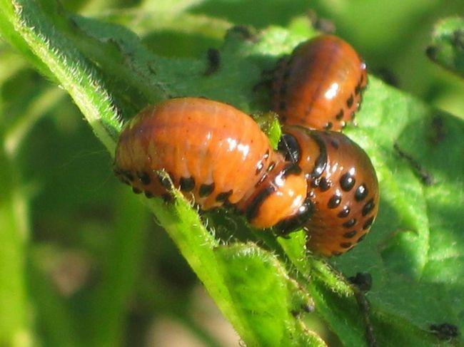 Gândacul de Colorado de cartofi larve.