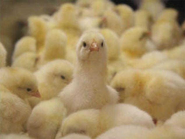 Комбикорм для цыплят-бройлеров, делаем своими руками