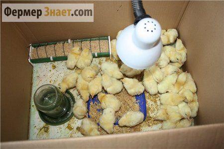 Кормление новорожденных птенцов