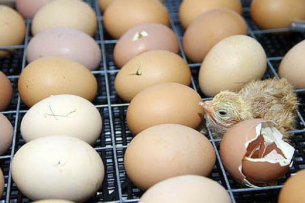 Цыпленок вылупился из яйца в инкубаторе