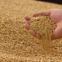 Кондиции, как нормы качества продукции растениеводства