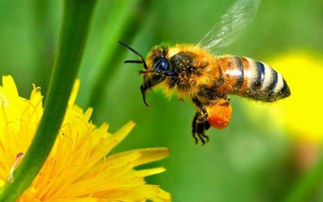 Vďaka kolektívnej typ nôh môže včela