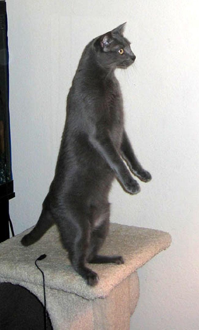 Корат - кошки короткошерстной породы