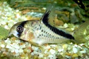Коридорас сомик: содержание, уход, размножение
