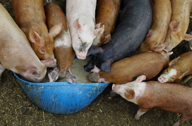 Корм для свиней: виды, использование, пищевая ценность
