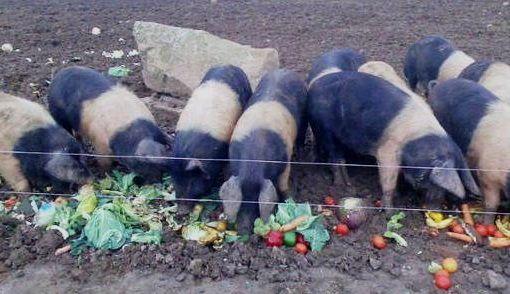сочные корма для свиней