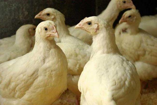 Кормление цыплят бройлеров.