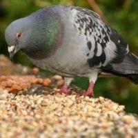 Кормление и корма для голубей