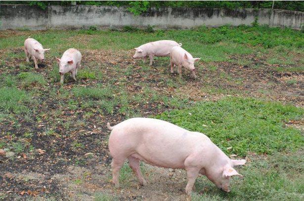 Племенные свиноматки пасутся на выгуле