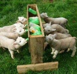 Hranjenje koze