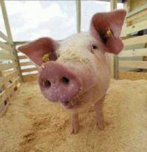 Правильное кормление свиней
