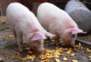 Нельзя давать свиньям просроченные продукты