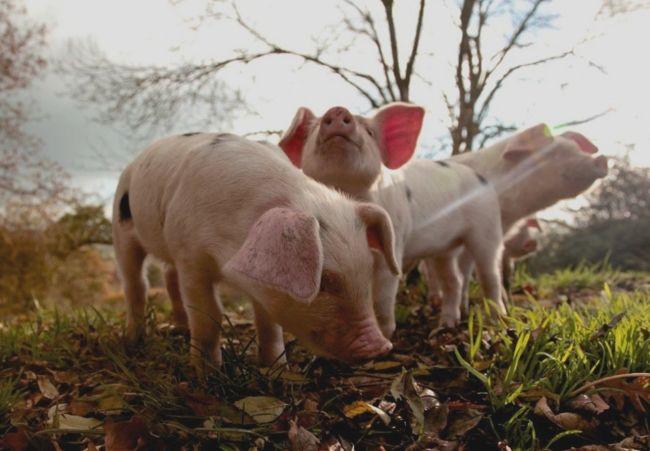 kŕmenie sviní