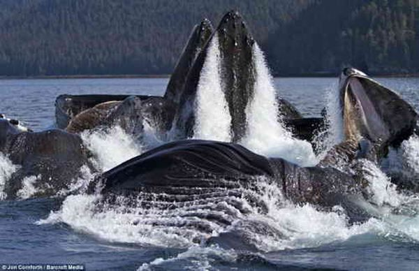 Hranjenje grbavi kitovi obale Aljaske