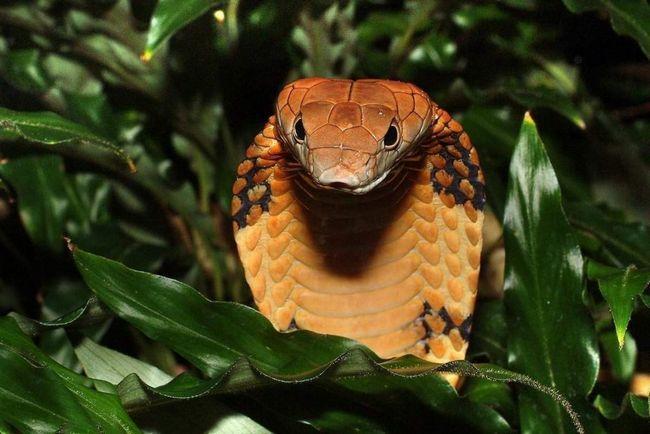 King Cobra (Ophiophagus hannah).