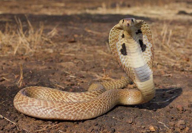 Najveći instanca kralj kobra je uhvaćen u Negri Sembilan.