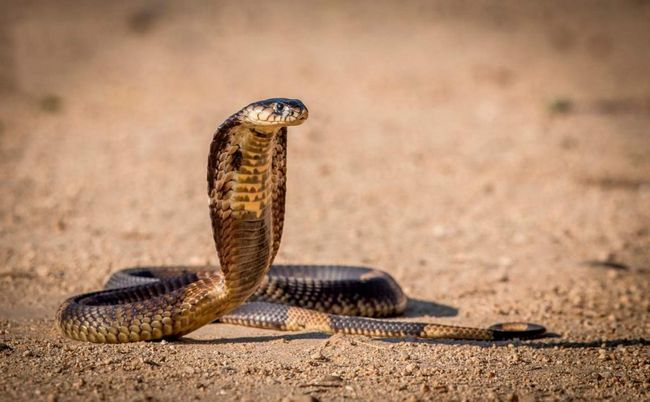 King Cobra otrov reguliše protok u napadu.
