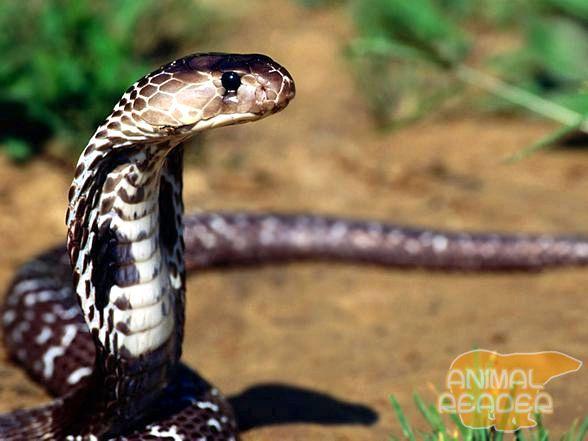 Cobra otrov paralizira nervnog sistema