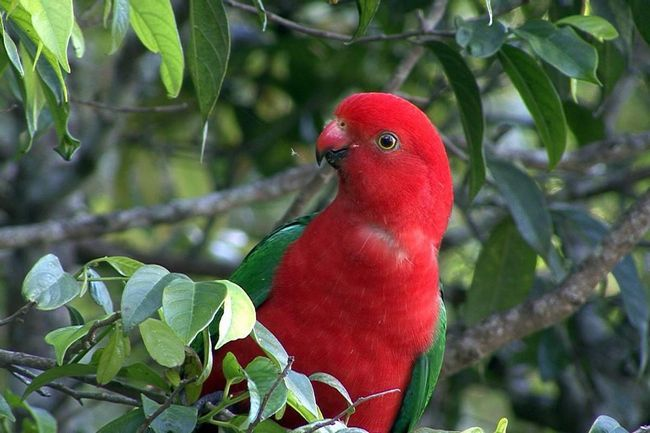 Королевский попугай (Alisterus scapularis).