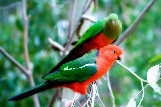 Самец и самка королевских попугаев.