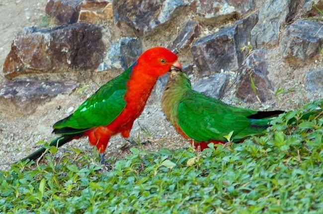 Любимое лакомство этих птиц - фрукты.
