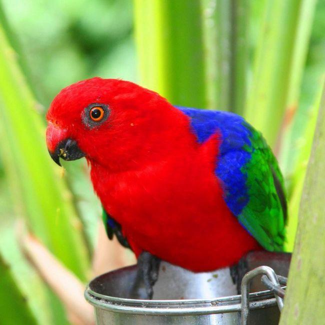 Амбоинский попугай.