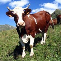 Krava sa cijevi