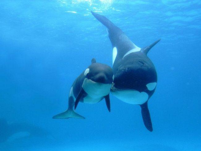 Orca s odraslim mladunče.
