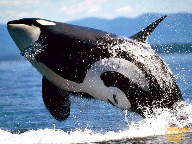 Killer Whale može skočiti 10 metara od vode