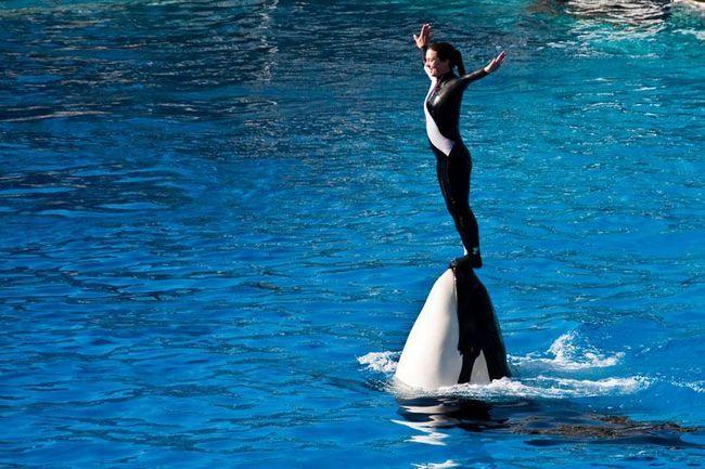 Govor kitovi ubice u akvariju.