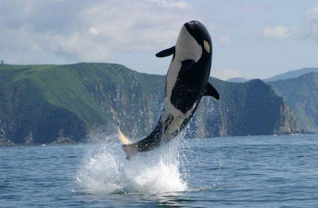 Oni su vrlo mobilni u dubinama mora, može biti dovoljno visok da skoči iz vode, s istom lakoćom za manevar u potrazi.