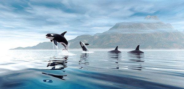 Pacific kitovi ubice su visoko inteligentni i izuzetno oprezni kada je u pitanju na večeru. (Foto Denis Scott / Corbis).