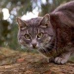 Кошачьи чувства- зачем кошки топчутся?