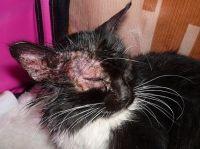 Feline herpes fotografija