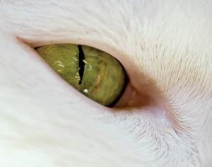 Кошачий зрачок сужается без участия мозга