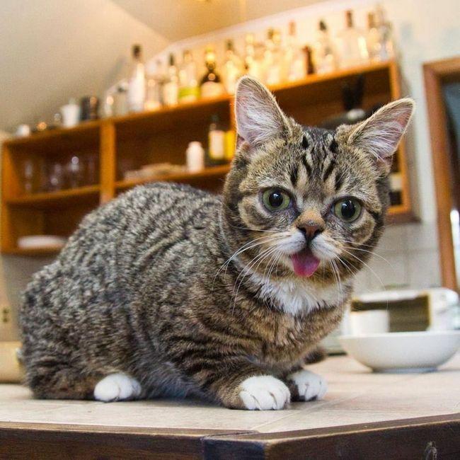 Beba mačka s kratkim nogama i ispupčen oči postati web hit