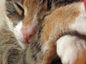 Кошки- чемпионы мира по сну, который занимает около 60 процентов их жизни