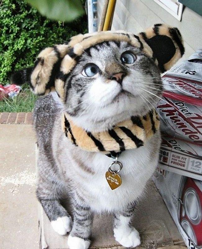 Eyed cat Spangls postala internet zvijezda