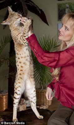 Mačka pod nazivom Magic Skarletts najveći na svijetu