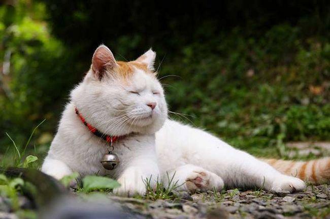 Cat Shiro Neko - vrlo miran