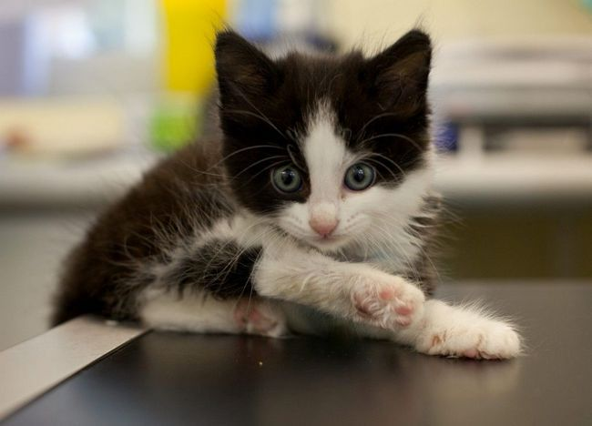 Mačiatko, stratil nohu v pasca na myši, našiel nový domov ... a stále miluje syr