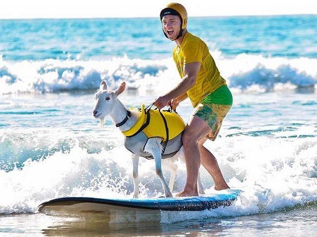 Goat Goat - velika lyubitelnitsa surfanje