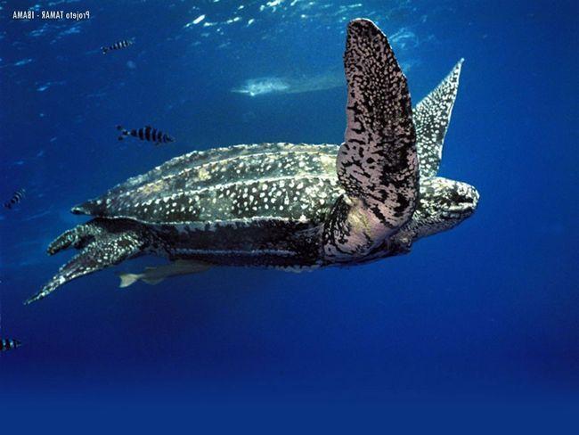 Giant Dermochelys kornjača